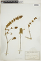 Dicliptera unguiculata Nees, ECUADOR, F