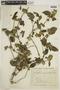 Dicliptera unguiculata Nees, BRAZIL, F