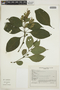 Pseuderanthemum carruthersii image