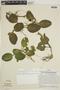 Fittonia albivenis image