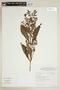 Hygrophila costata Nees, BRAZIL, F