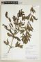 Hygrophila costata Nees, PARAGUAY, F