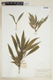 Hygrophila costata Nees, COLOMBIA, F
