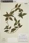 Jacobinia monticola var. ovalifolia Hiern, BRAZIL, F