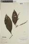 Justicia secundiflora (Ruíz & Pav.) M. Vahl, PERU, F