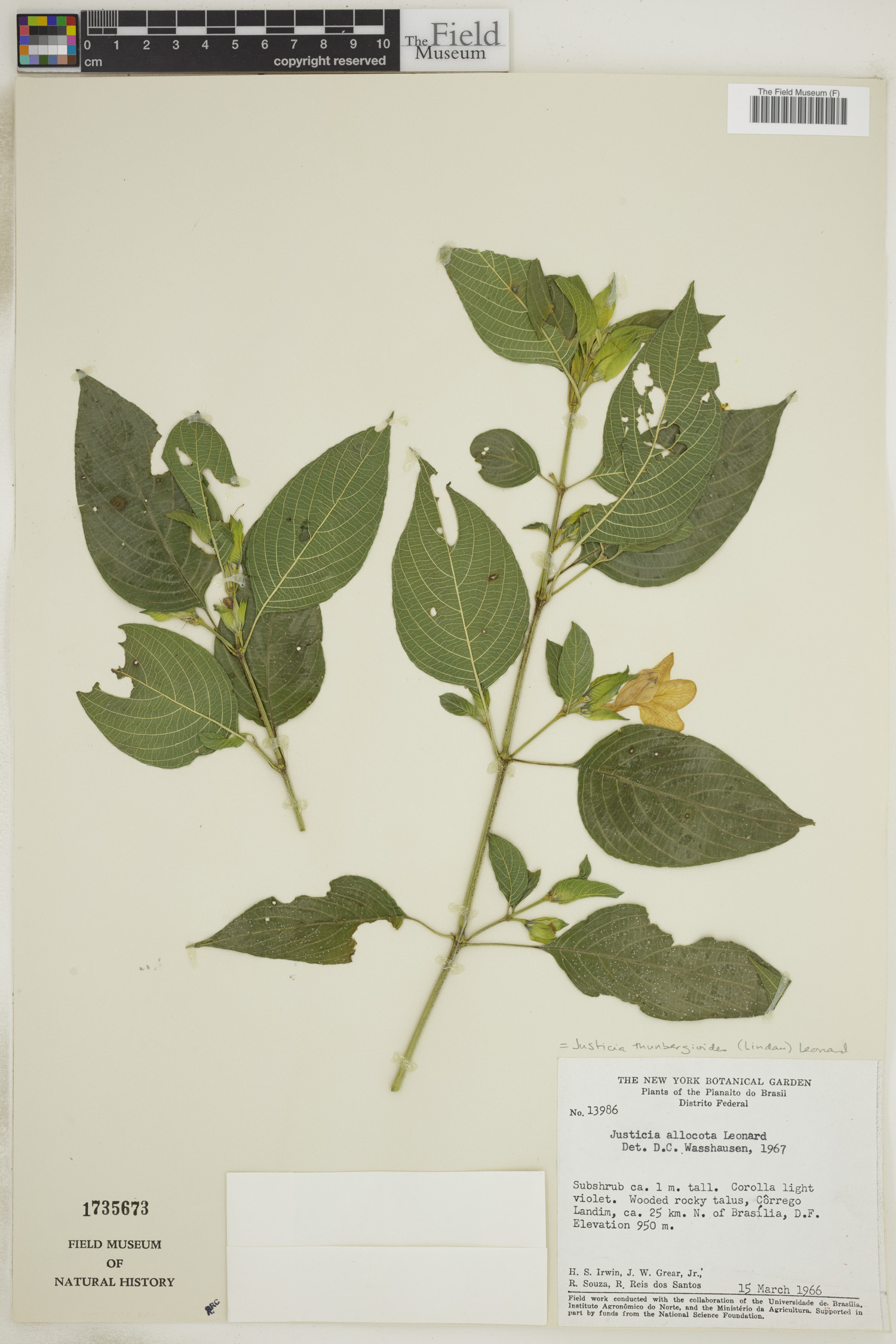 Justicia thunbergioides image