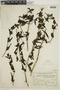 Poikilacanthus tweedianus (Nees) Lindau, ARGENTINA, F