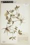 Ruellia geminiflora Kunth, BRAZIL, F