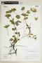 Ruellia geminiflora Kunth, ARGENTINA, F