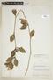 Ruellia geminiflora Kunth, ECUADOR, F