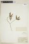 Ruellia geminiflora Kunth, PERU, F