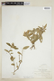 Ruellia geminiflora Kunth, BOLIVIA, F