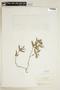 Ruellia geminiflora Kunth, COLOMBIA, F