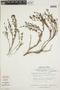 Arcytophyllum thymifolium image