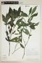Stenostephanus sprucei (J. Lindau) Wassh. & J. R. I. Wood, PERU, F