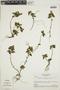 Teliostachya alopecuroidea (Vahl) Nees, BRAZIL, F