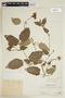 Thunbergia fragrans image