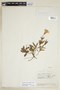 Ruellia geminiflora Kunth, VENEZUELA, F