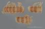 264 Leptodesmus piraputangus ST D IN n60 hf12