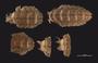 477 Cyrtodesmus hispidulosus HT D IN z6 2x 57zm L19