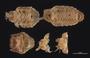 477 Cyrtodesmus hispidulosus HT V IN z6 2x 57zm L16