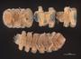 910 Pinesmus monticolens HT V IN z6 2x 1zm L35