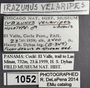 1052 Irazunus velaripes HT IN labels