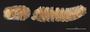 1026 Botrydesmus biramosus HT V IN z6 2x 16zm L42