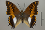 124940 Charaxes ansorgei levicki d IN