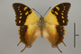 124941 Charaxes sp d IN