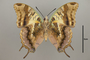 124941 Charaxes sp v IN