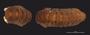487 Cyrtodesmus lyrapes HT D IN z6 2x 16zm L60
