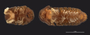 487 Cyrtodesmus lyrapes HT IN z6 2x 16zm hf60