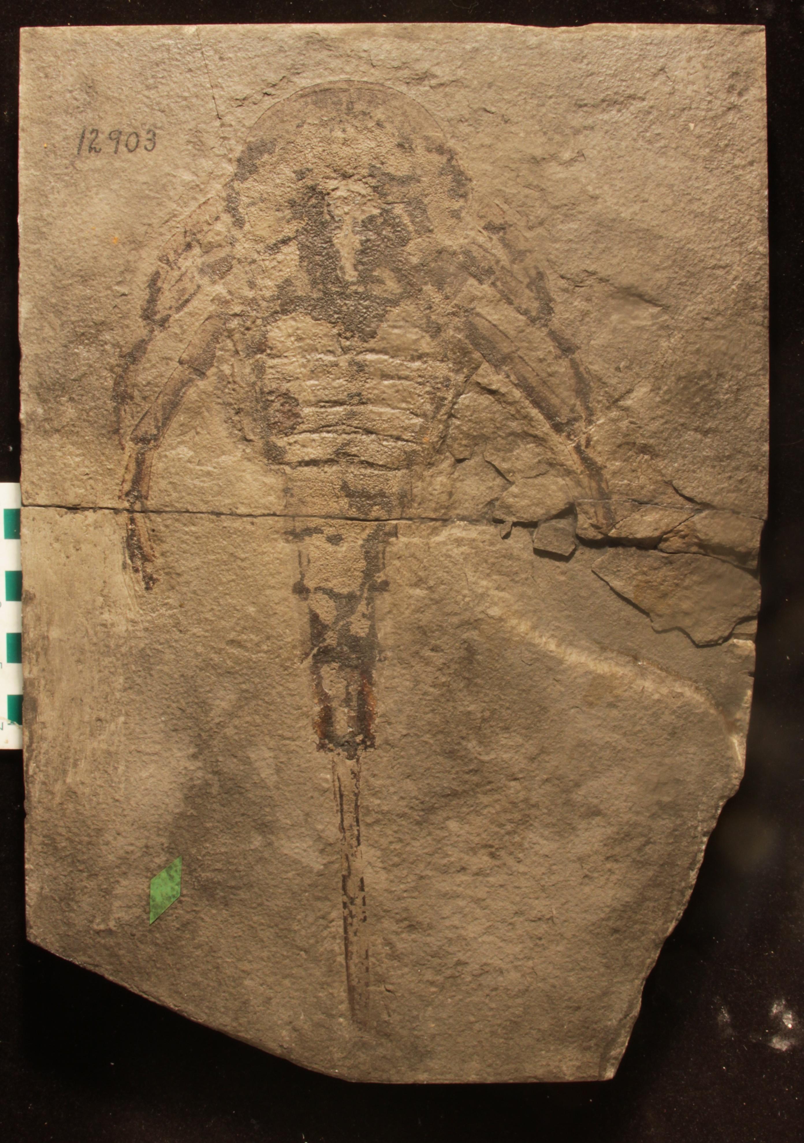 A eurypterid (sea scorpion) Silurian fossil from Kokomo, Indiana.