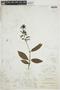 Bertiera guianensis Aubl., BOLIVIA, F