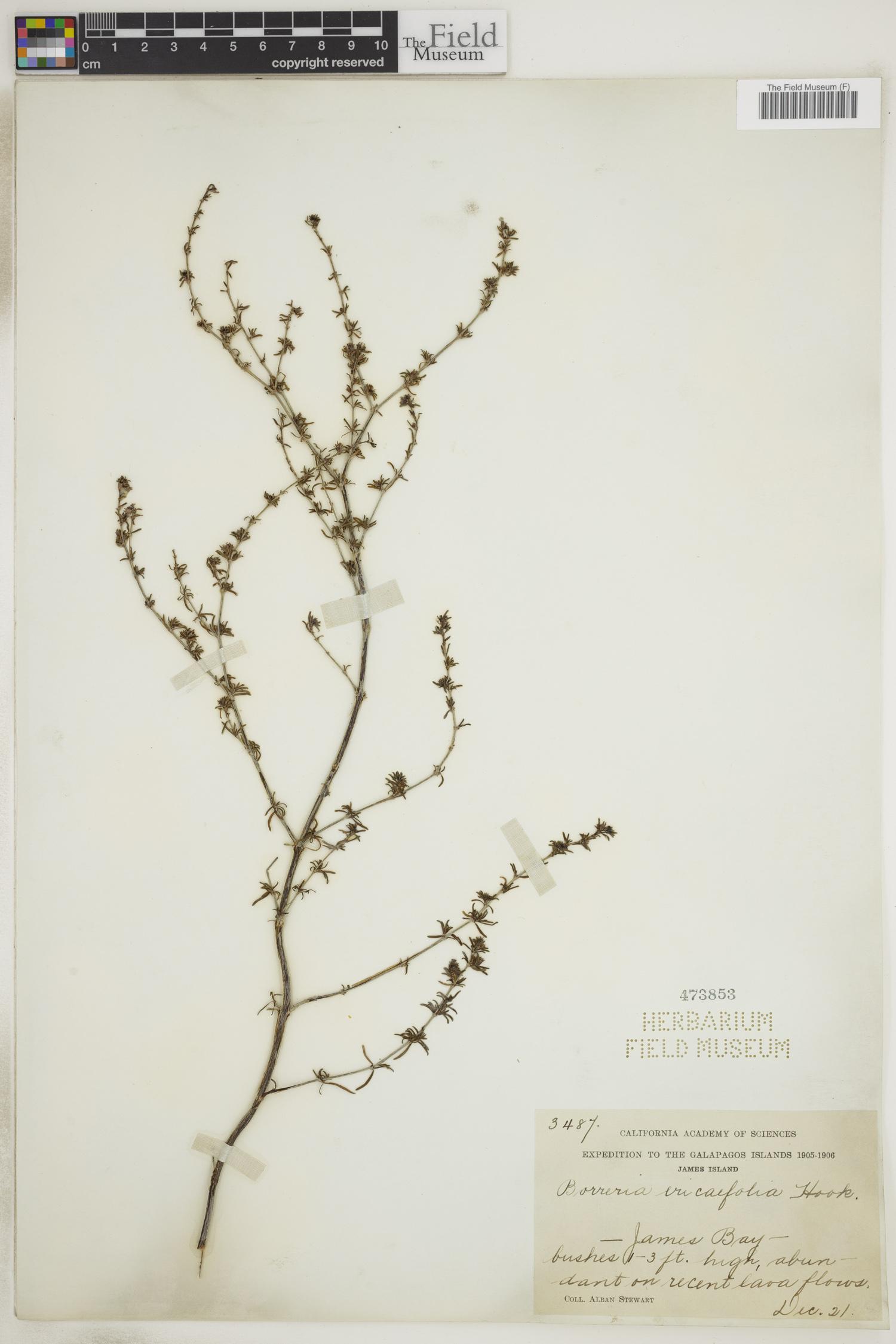 Borreria ericaefolia image