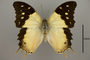 124942 Charaxes analava d IN