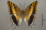 124947 Charaxes varanes ssp d IN