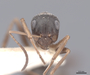 46250 Formica cunicularia H IN
