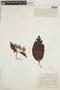 Calycophyllum spruceanum (Benth.) K. Schum., COLOMBIA, F