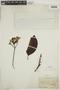 Calycophyllum spruceanum (Benth.) K. Schum., BRAZIL, F