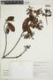 Calycophyllum spruceanum (Benth.) K. Schum., BOLIVIA, F