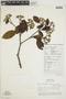 Calycophyllum spruceanum (Benth.) K. Schum., PERU, F