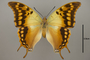 124951 Charaxes candiope d IN