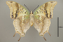 124951 Charaxes candiope v IN