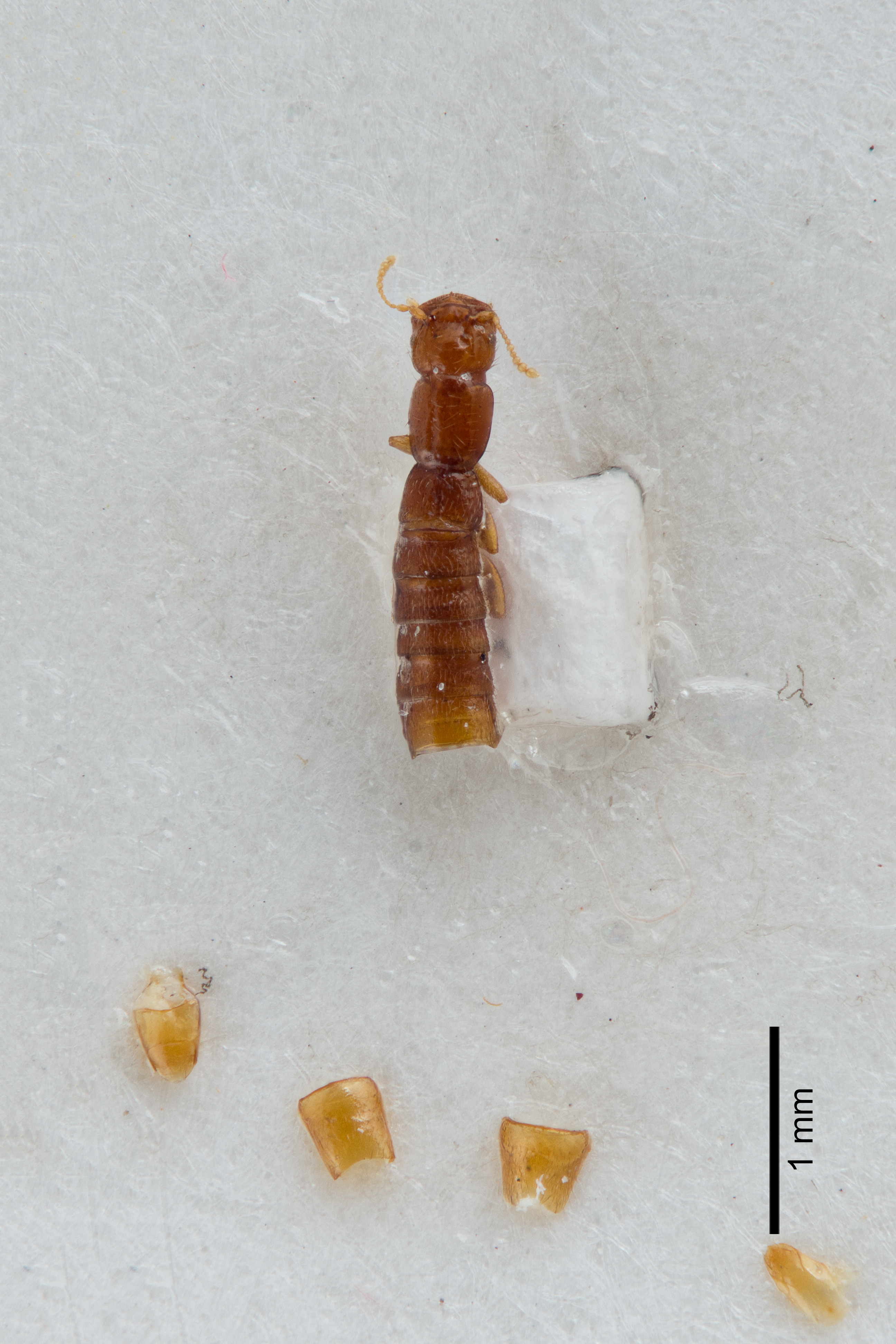 Image of Fenderia exspectata