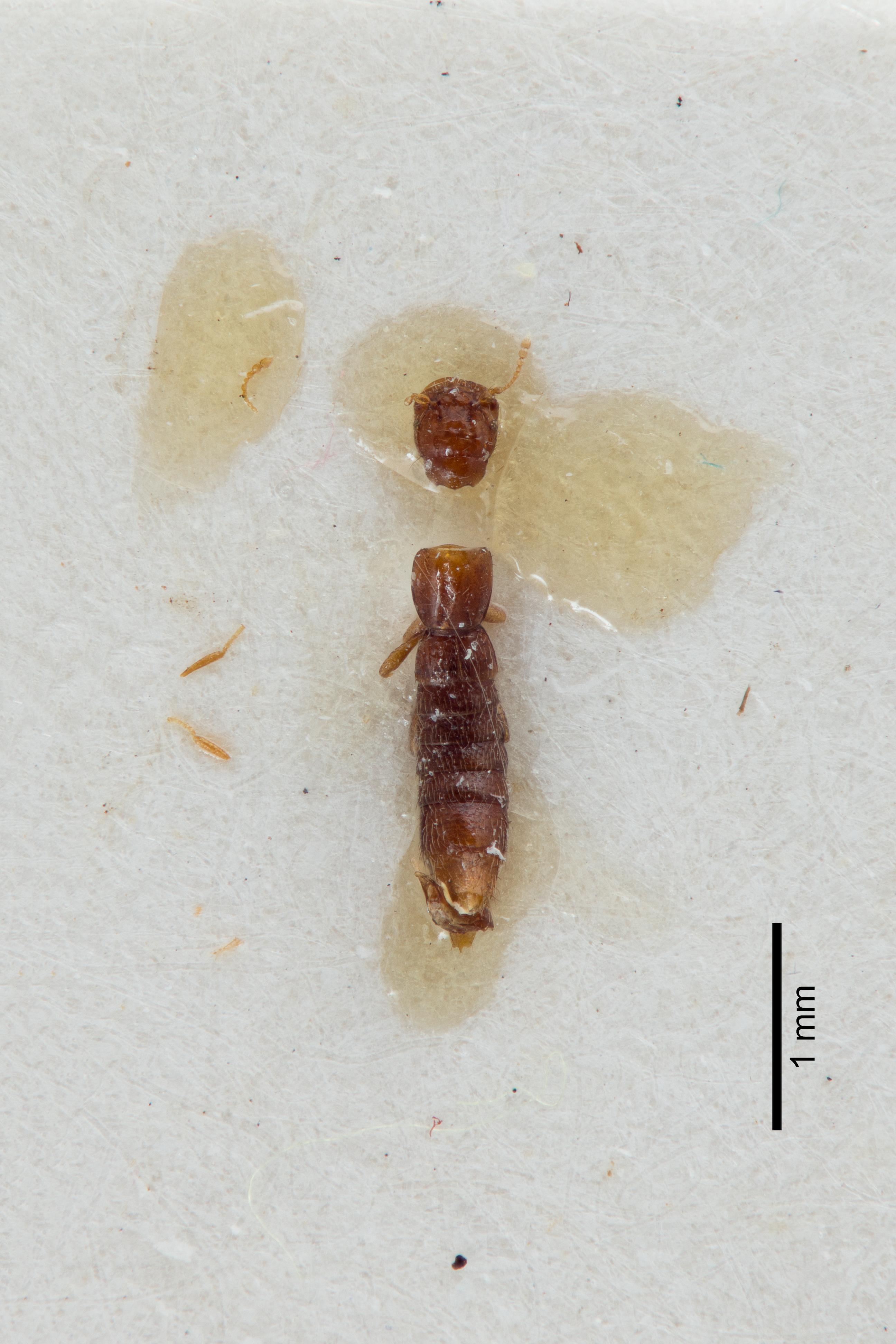 Image of Fenderia mendax