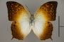 124952 Charaxes fulvescens d IN