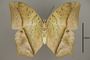 124952 Charaxes fulvescens v IN