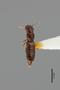 2819016 Alzadaesthetus chilensis HT d IN